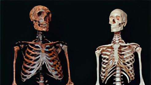 Neandertaler Homosapien Vergleich